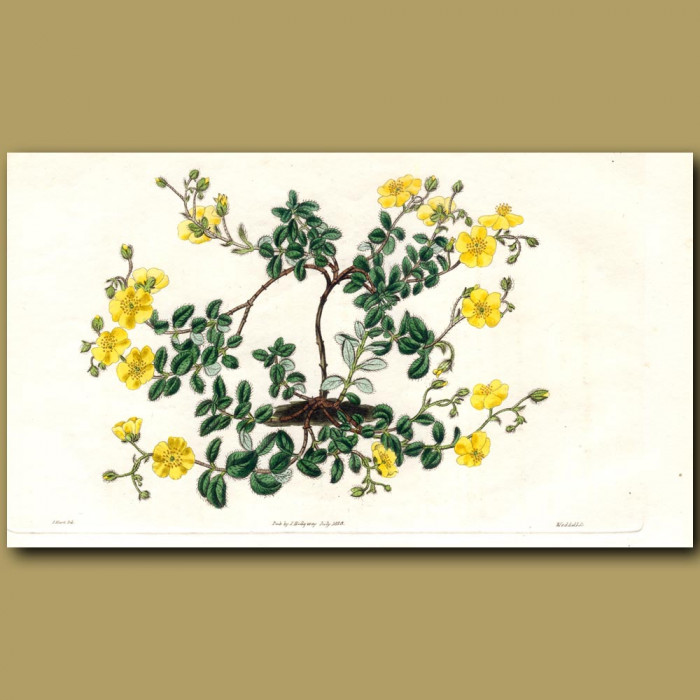 Neat Sun Rose: Genuine antique print for sale.