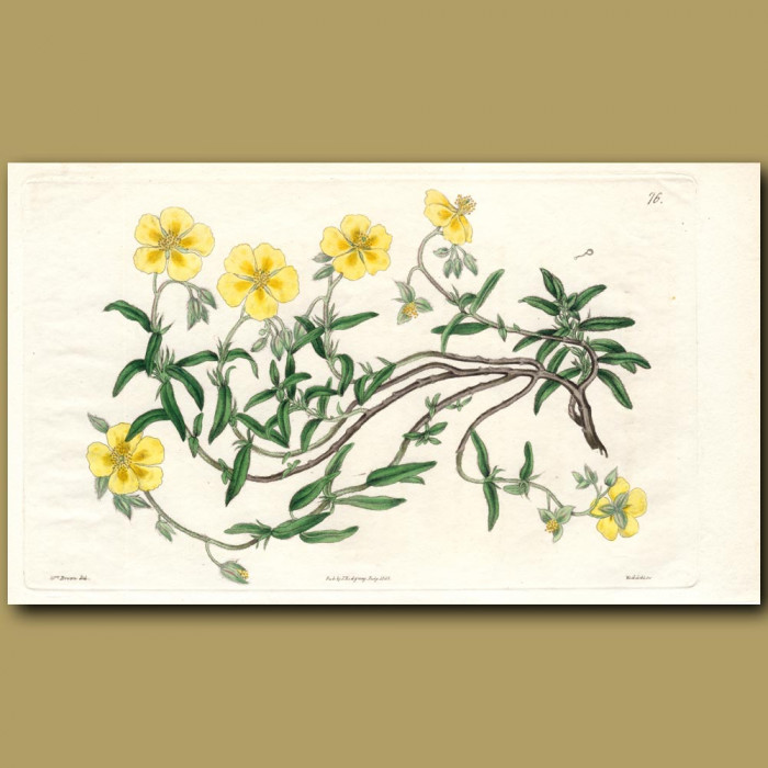 Woolly-calyxed Sun Rose: Genuine antique print for sale.