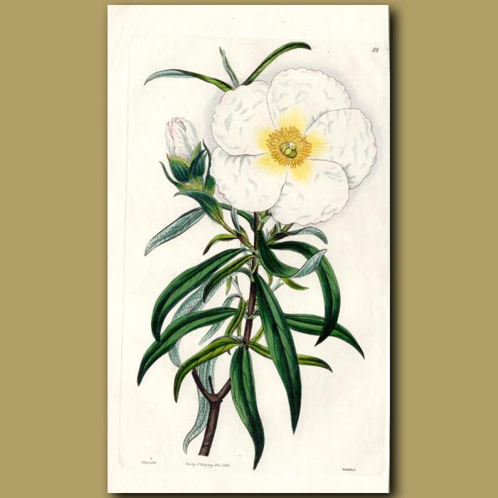 White-flowered flat -leaved Gum Cistus: Genuine antique print for sale.