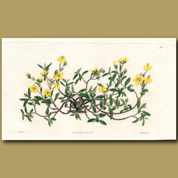 Pale green-leaved Sun Rose: Genuine antique print for sale.