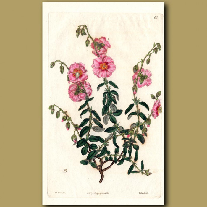 Double-flowered Rose-coloured Sun Rose: Genuine antique print for sale.