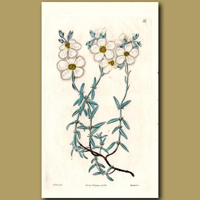 White Mountain Sun Rose: Genuine antique print for sale.