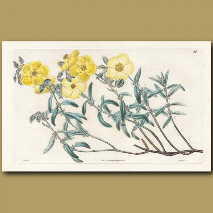 Mr Anderson's Sun Rose: Genuine antique print for sale.
