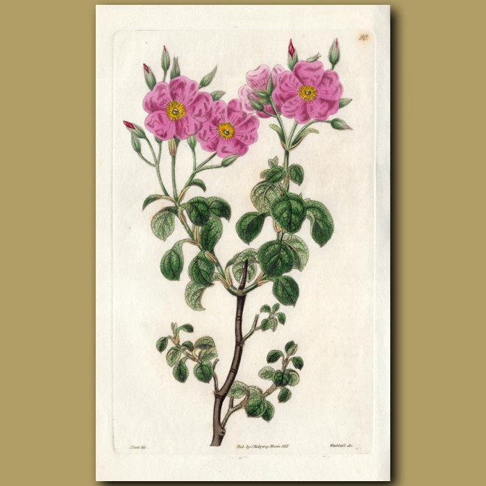 Cyme-flowered Rock Rose: Genuine antique print for sale.