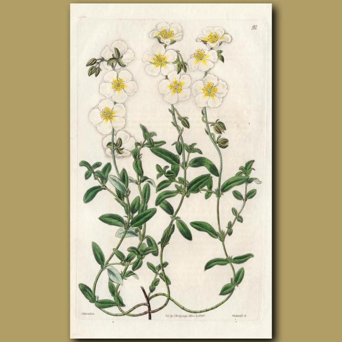 Confused Sun Rose: Genuine antique print for sale.