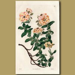 Saffron-coloured Hyssop-leaved Sun Rose