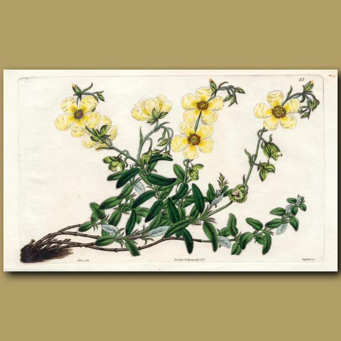 Straw-coloured Sun Rose: Genuine antique print for sale.