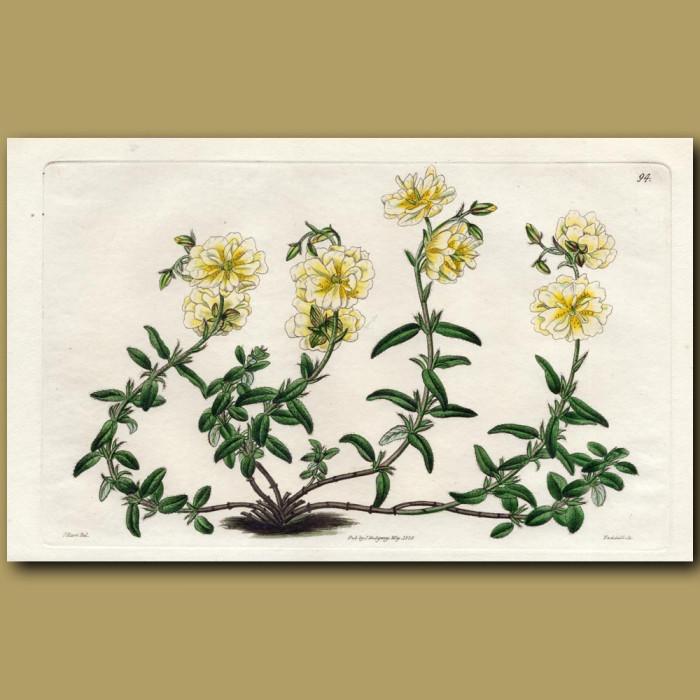 Full-flowered Straw-coloured Sun Rose: Genuine antique print for sale.