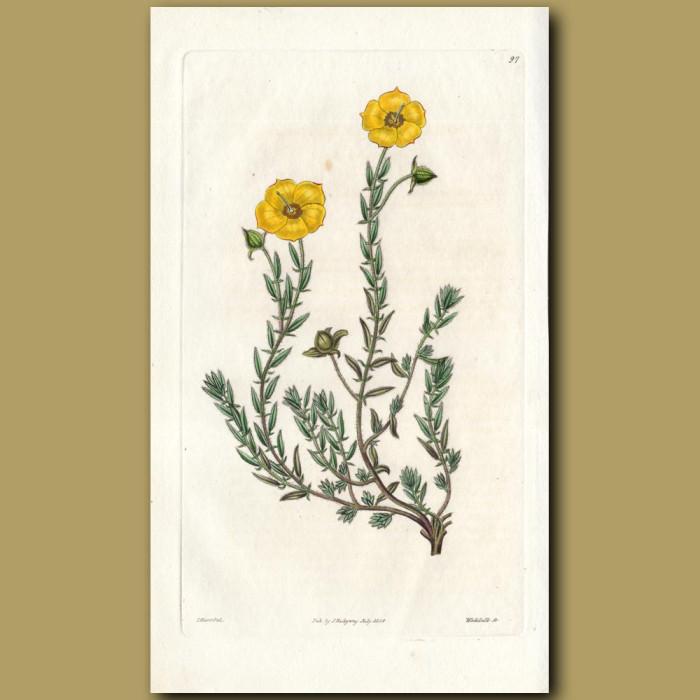 Arabian Sun Rose: Genuine antique print for sale.