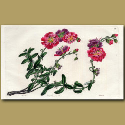 Double-flowered different-leaved Sun Rose