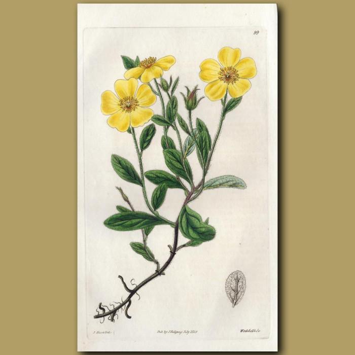 Carolina Sun Rose: Genuine antique print for sale.