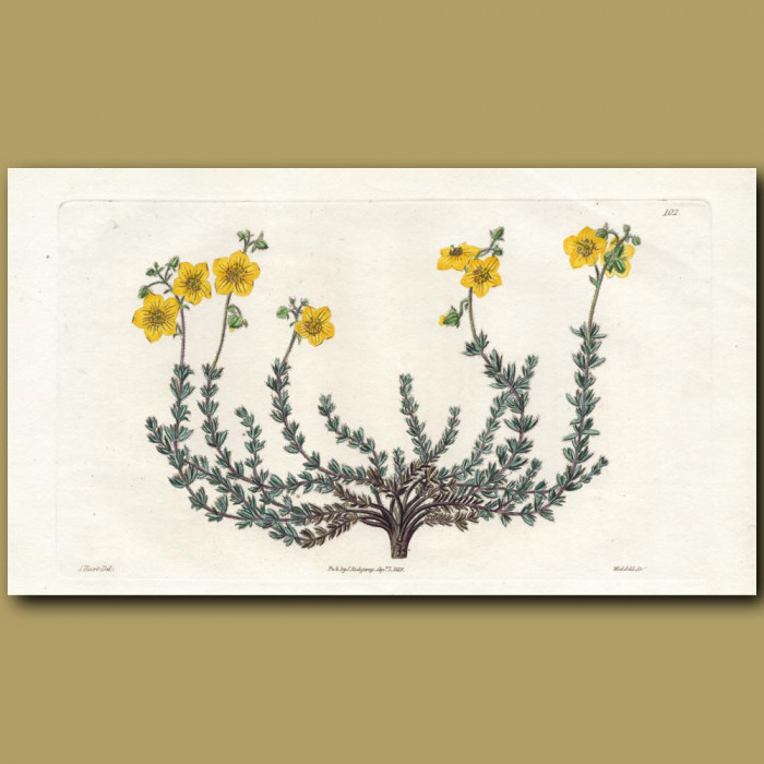 Thyme-leaved Sun Rose: Genuine antique print for sale.