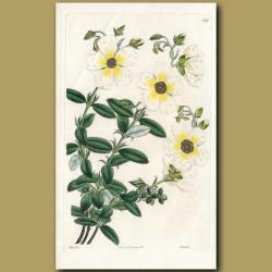 Great-flowered Sun Rose