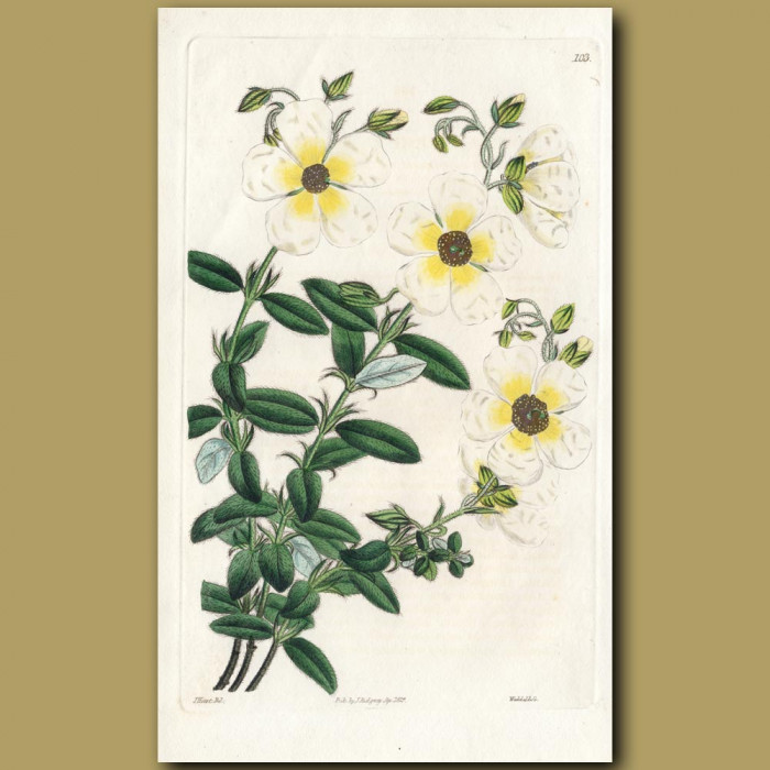 Great-flowered Sun Rose: Genuine antique print for sale.