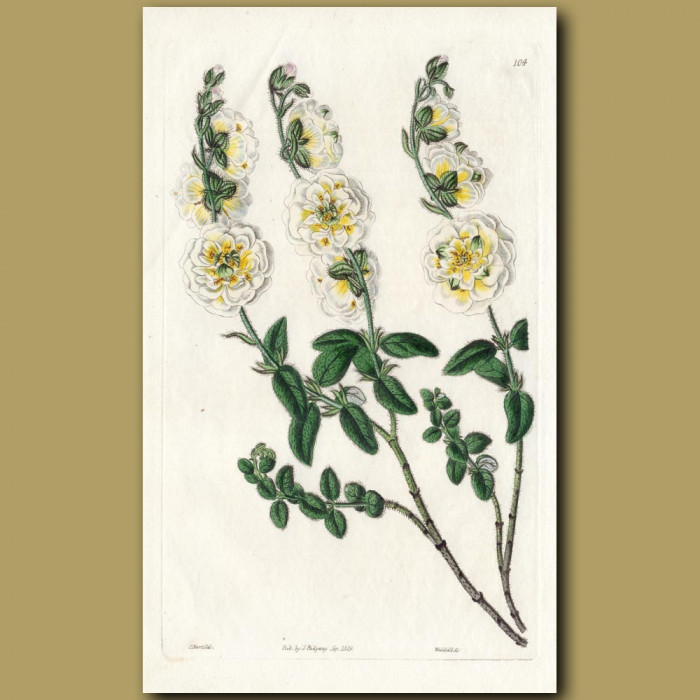 Double-great-flowered Sun Rose: Genuine antique print for sale.