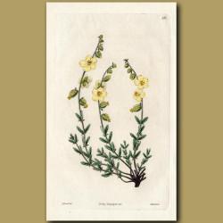 Elliptic-leaved Sun Rose