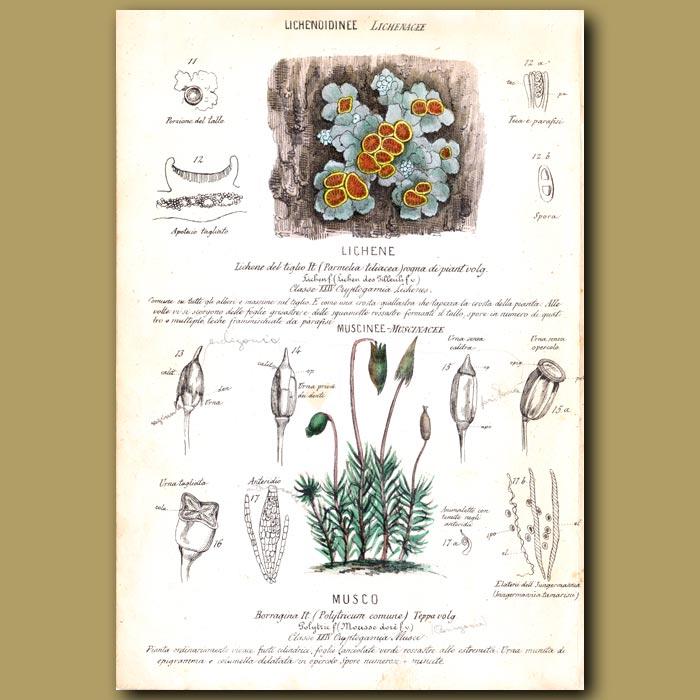 Antique print. Lichene. Moss and Lichen