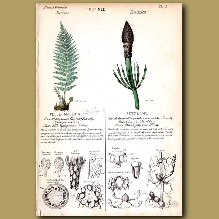 Antique print. Filicinee. Ferns