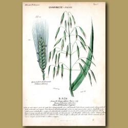 Biada. Wheat and Oats
