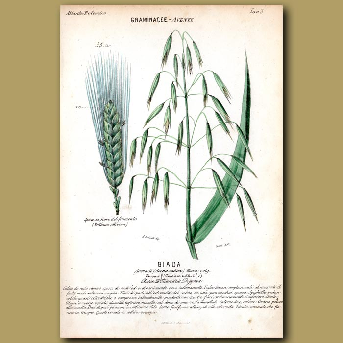 Antique print. Biada. Wheat and Oats
