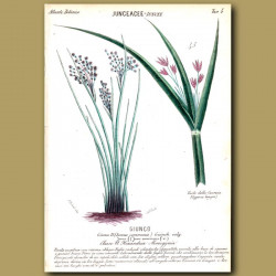 Juncaceae. Rush Grass and Sweet Galangale