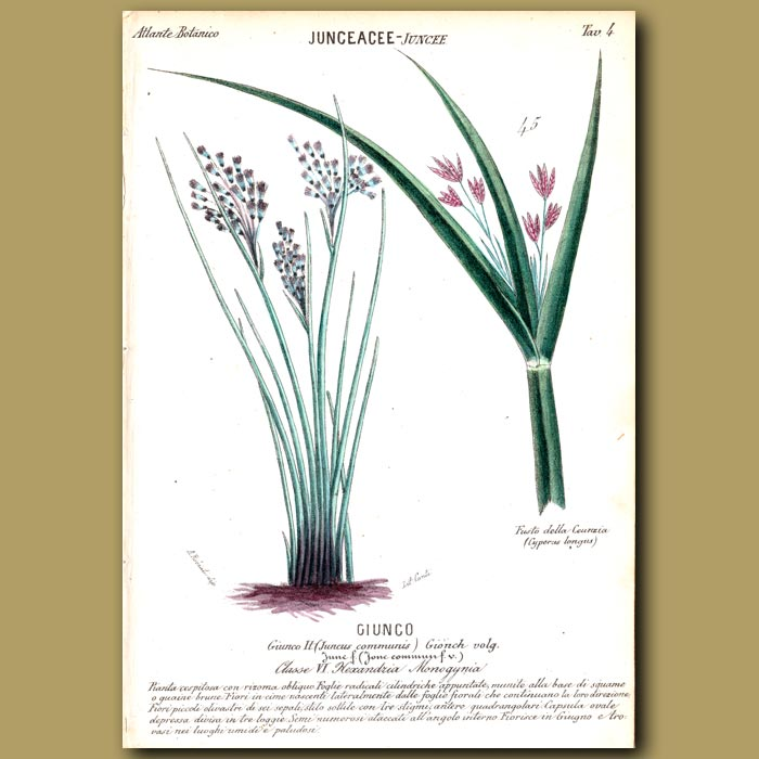 Antique print. Juncaceae. Rush Grass and Sweet Galangale