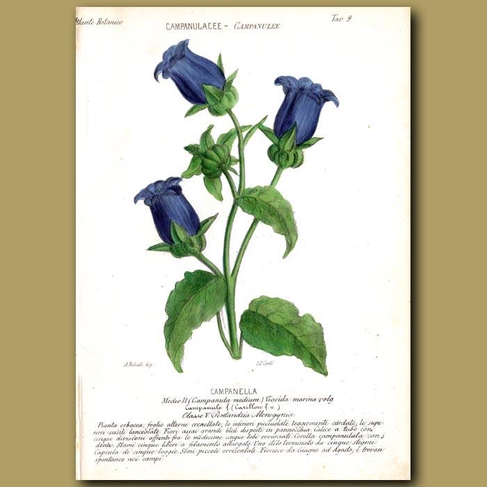 Antique print. Campanella. Bell Flowers