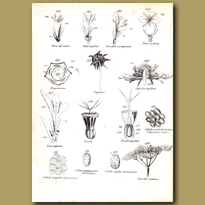 Antique print. Botany of Flowers and Elderberry