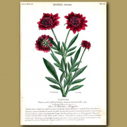 Dipsee. Scabious Flowers