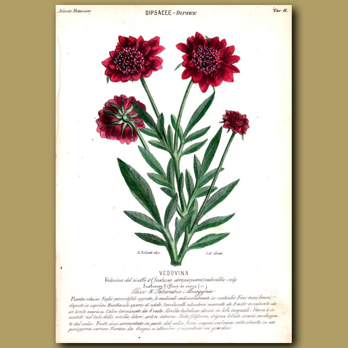 Antique print. Dipsee. Scabious Flowers