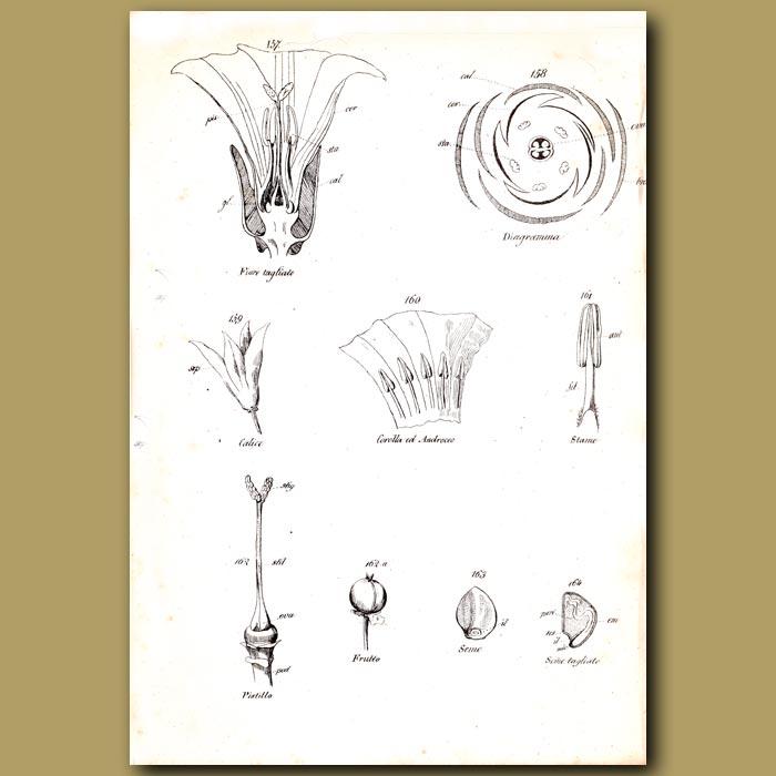 Antique print. Botany of Convolvus Flowers