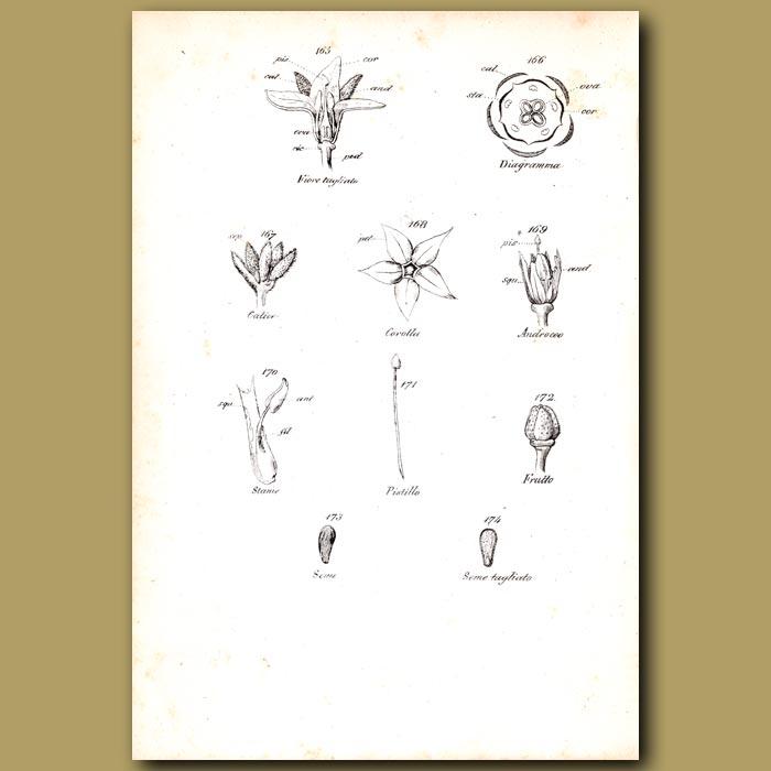 Antique print. Botany of Borage Flowers