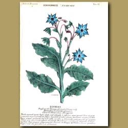 Borrana. Borage or Bugloss Flowers