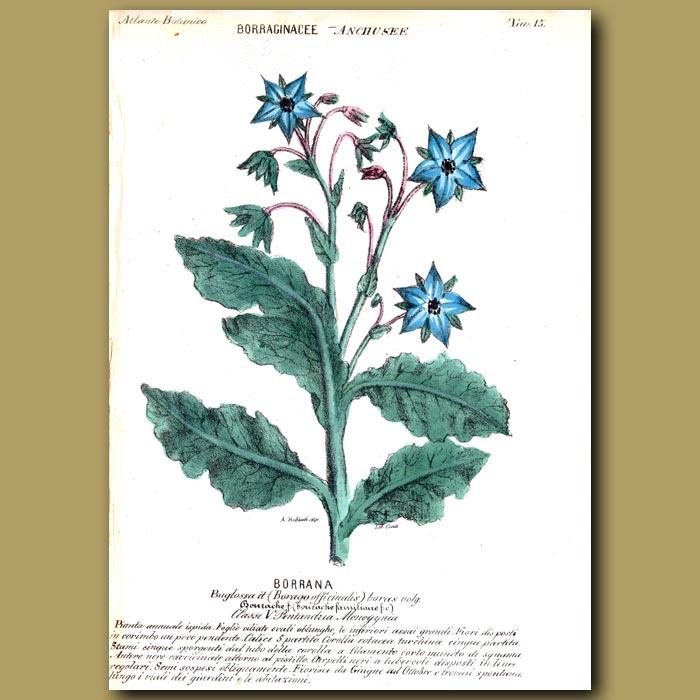 Antique print. Borrana. Borage or Bugloss Flowers