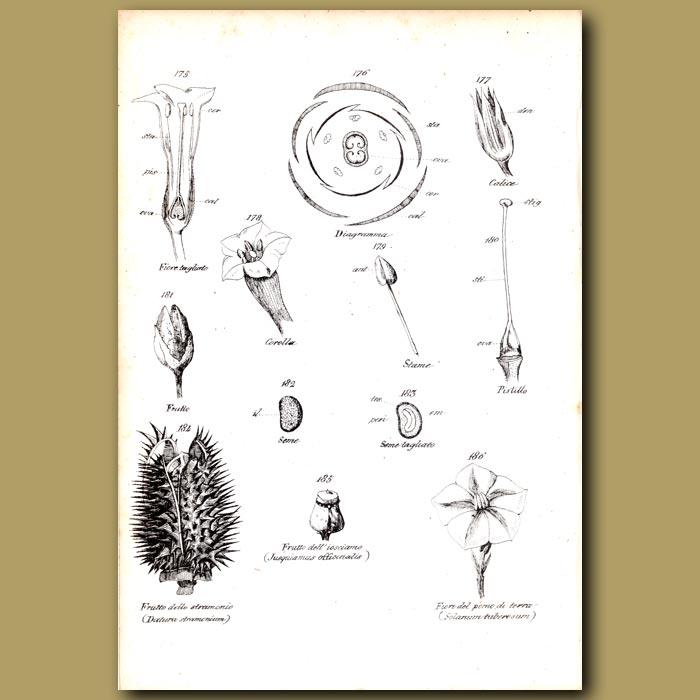Antique print. Botany of Flowers, Datura etc