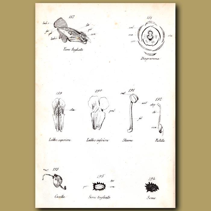 Antique print. Botany of Snapdragon Flowers