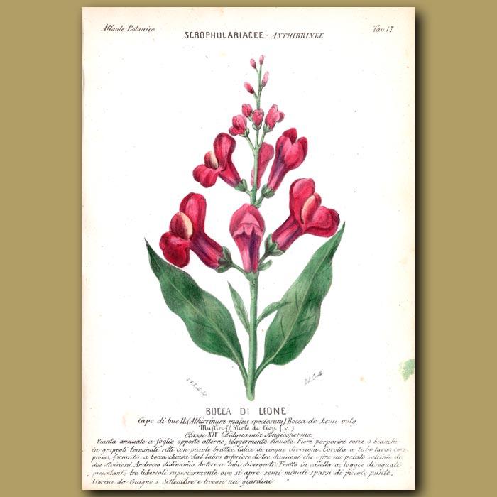 Antique print. Snapdragon Flowers (Bocca di Leone)