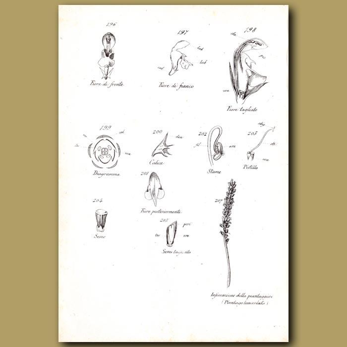 Antique print. Botany of Nettle Flowers