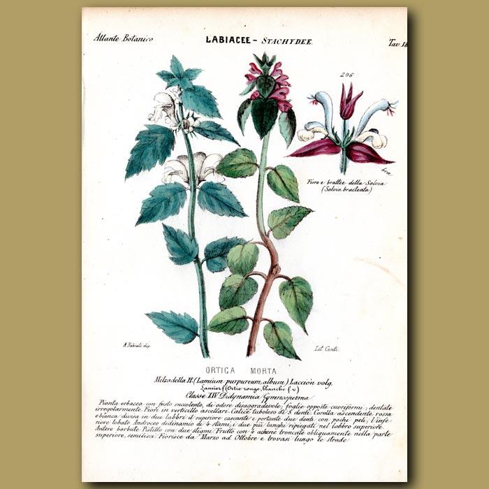 Antique print. Nettle Flowers