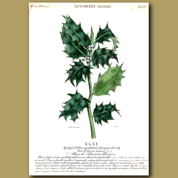 Antique print. Christmas Holly