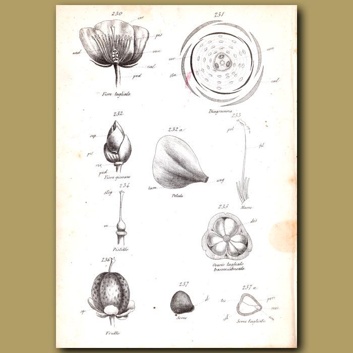 Antique print. Botany of Camellia