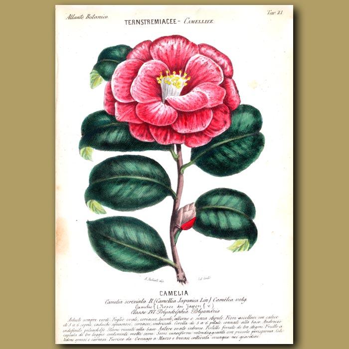 Antique print. Camellia Japonica Flowers