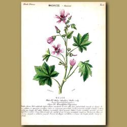 Malvacee. Mallow Flowers