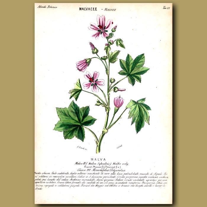 Antique print. Malvacee. Mallow Flowers
