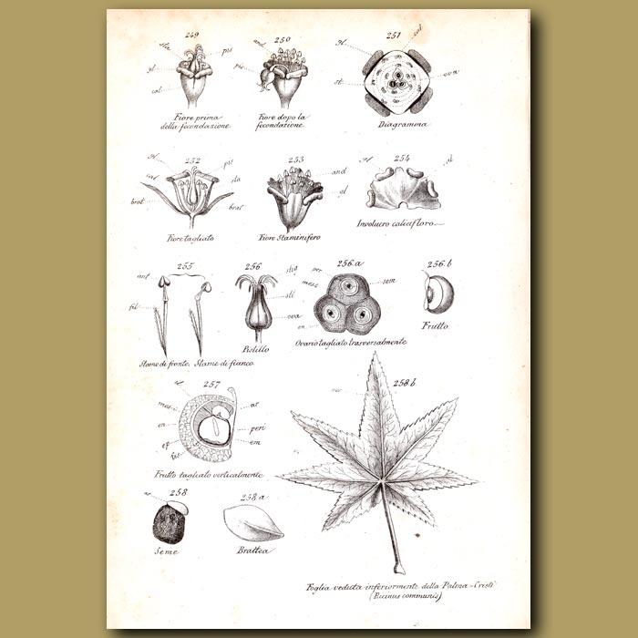 Antique print. Botany of Euphorbia