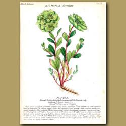 Euphorbia or Spurge Flowers
