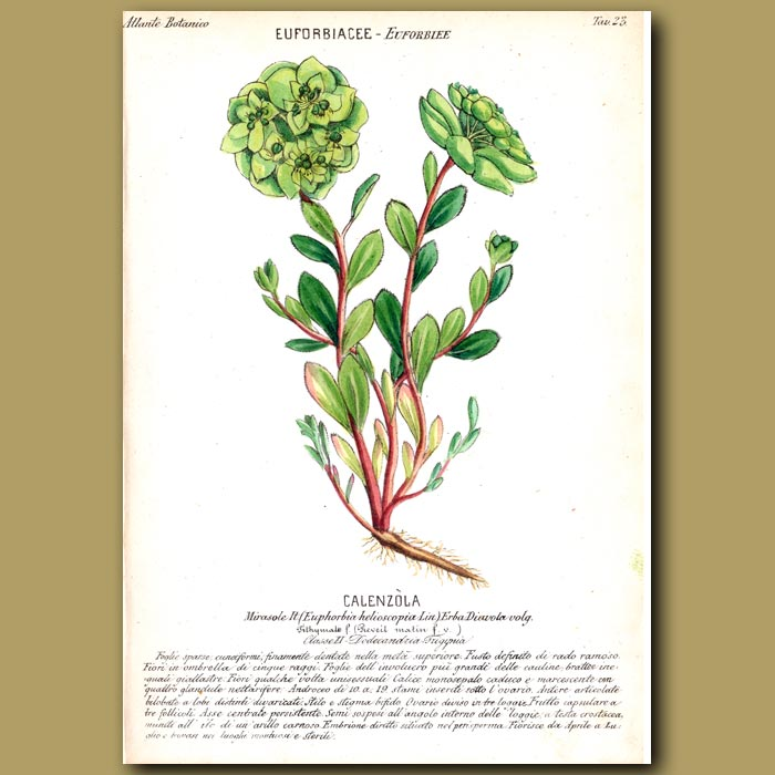 Antique print. Euphorbia or Spurge Flowers