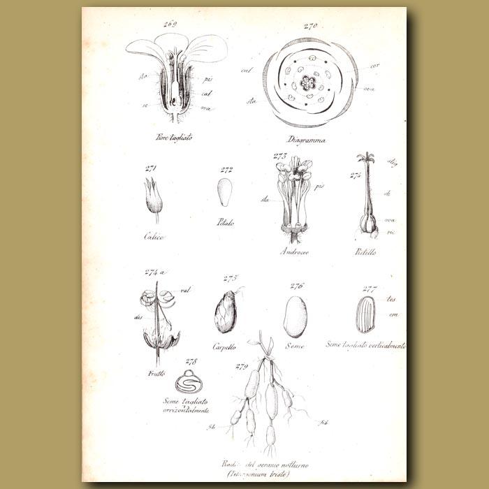 Antique print. Botany of Geranium
