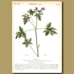 Geraniacee. Geranium Flowers