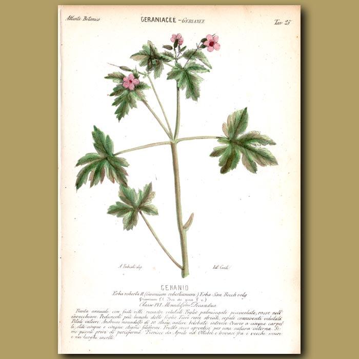 Antique print. Geraniacee. Geranium Flowers